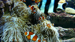 Clown fishes playing among anemone inside Vancouver aquarium Stock Footage