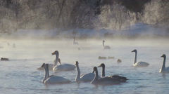 Swans on lake in the morning mist  at early morning Stock Footage