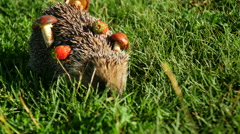 Hedgehog in the autumn forest curled. Mushroom on tenterhooks Stock Footage