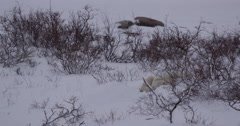 Polar bear snoozes in snow bed in willows Stock Footage