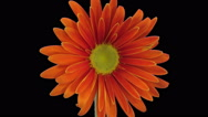 Time-lapse of growing and opening orange gerbera in RGB + ALPHA matte format Stock Footage