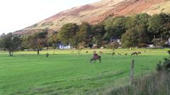 Deer grazing on Lochranza golf course Isle of Arran Scotland Stock Footage