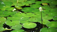 Lily pads floating on a pond in Bora Bora. Stock Footage