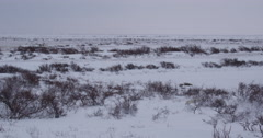 Polar bear in snow bed barely visible in winter tundra landscape Stock Footage
