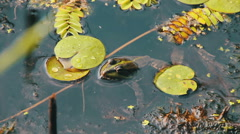 Frog in the River near the Lilies Stock Footage
