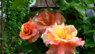 Bright, beautiful shrub roses rose on the background of country house Stock Footage