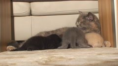 Purebred British cat carefully washes and feeds young kittens Stock Footage