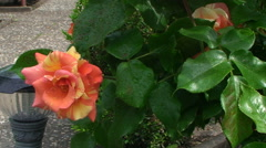 A gentle breeze rustles the petals and green leaves of a rose covered with Stock Footage
