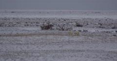 Polar bear with older cub walks across snowy tundra Stock Footage
