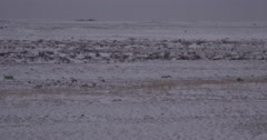 Polar bear and cub emerge over small snowy rise at dawn Stock Footage