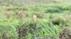 Roe Deer stag doe and fawn amongst the reeds Stock Footage
