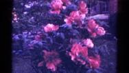 1966: summer pink flowers DANVILLE, ILLINOIS Stock Footage