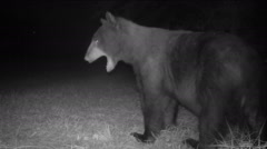Bear Yawning Stock Footage