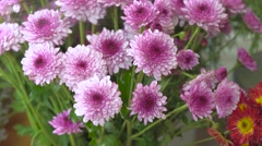 Close up shot of spraying water on purple blooming mums flower Stock Footage