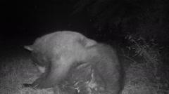 Bear Scratching Stock Footage
