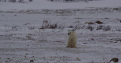 Polar bear and cub are fearful as they sniff air on tundra Stock Footage