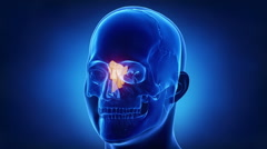 Blue x-ray skull animation - Ethmoid bone - os ethmoidale Stock Footage