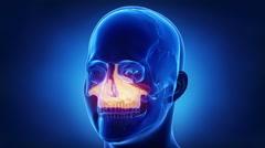 Blue x-ray skull animation - MAxilla - corpus maxillae Stock Footage