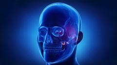 Blue x-ray skull animation - Occipital bone - os occipitale Stock Footage