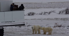 Tourists take pictures of polar bears from tundra buggy Stock Footage