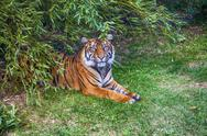 Bengal tiger in the forest Stock Photos