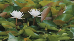 Water lily lat. Nympha a panorama Stock Footage