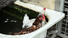 Two chickens in water Stock Footage