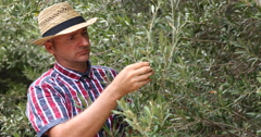 Serious Olive Cultivator Checking Harvest Quality in Traditional Organic Orchard Stock Footage