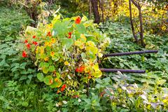Flowerbed with nasturtium illuminated by sunlight Stock Photos