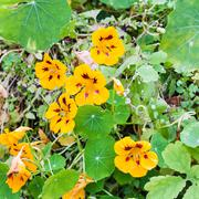 Yellow flowers and green leaves of nasturtium Stock Photos