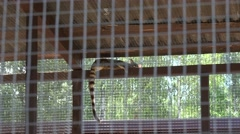 Common genet genetta animal lie high on zoo cage. Zoom out Stock Footage