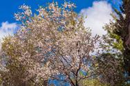 Spring Almond Tree Flowers Stock Photos