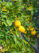 Lemon tree with yellow fruits and green leaves Stock Photos