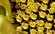 Sunflower blossom detail Stock Photos