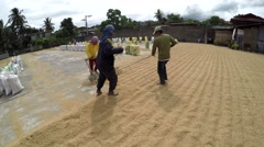 Rice mill workers raking and spreading rice grains to dry Stock Footage