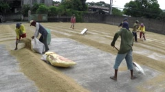 Rice mill workers sacking dried rice grains to warehouse Stock Footage