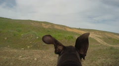 Hunter dog running with camera on the back. Stock Footage