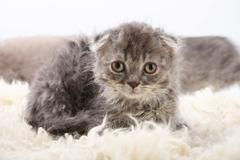 Gray lop-eared amusing kitten on a white background. Stock Photos