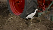 Cranes in the field during ploughing collect worms Stock Footage
