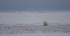 Polar bear and cub venture onto jagged sea ice from shore Stock Footage
