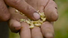 Egyptian farmer in the field goes through in the hands of the wheat Stock Footage