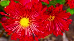 Bright red flowers in the garden Stock Footage