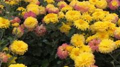 Yellow chrysanthemum flowers in the garden Stock Footage