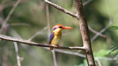 Bird  oriental dwarf kingfisher (Ceyx erithaca) or black-backed kingfisher Stock Footage