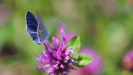 Beautiful butterfly with blue wings sits on field pink flower Stock Footage