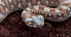 Horned adder-4K-closeup South Africa. Stock Footage