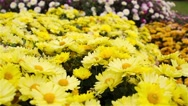 Yellow Daisy flowers in the garden Stock Footage