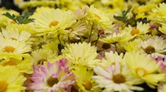 Yellow Daisy flowers in the garden. Panorama Stock Footage