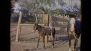 1967: small burrow is roaming farmyard with other animals. TUCSON, ARIZONA Stock Footage