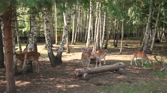Adult dominant male, female and fawn on autumn meadow Stock Footage